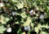 Cotton - 3