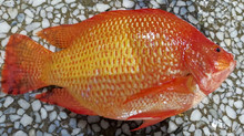 Difference Between Fresh & Live Tilapia Fish