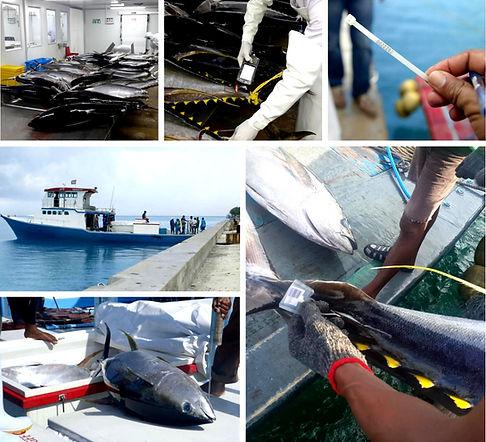 MALDIVES YELLOWFIN TUNA TRACEABILITY