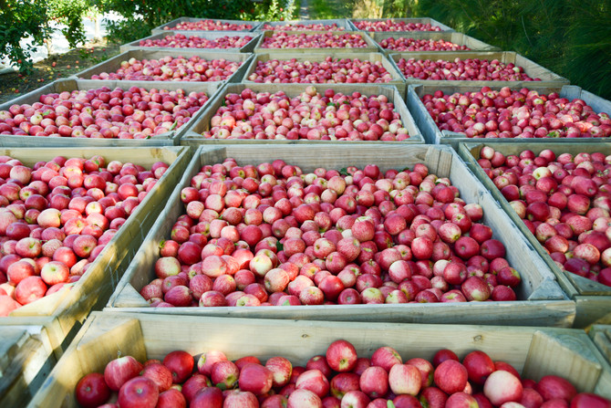 Interesting History About Apples