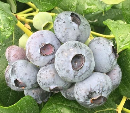 Chile Blueberry.jpg