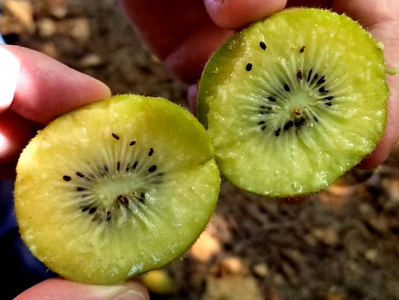 Chile Kiwi -4