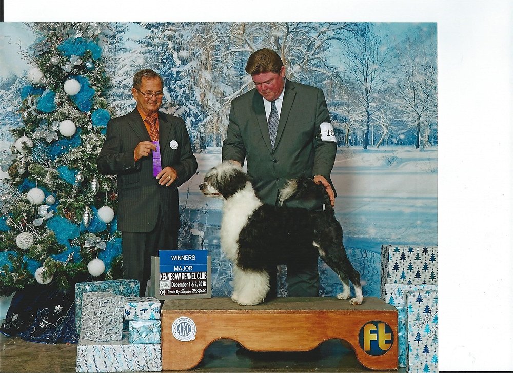 SEA-SEA is an INTERNATIONAL CHAMPION and only needs 2 lil points to complete her AKC Championship!
