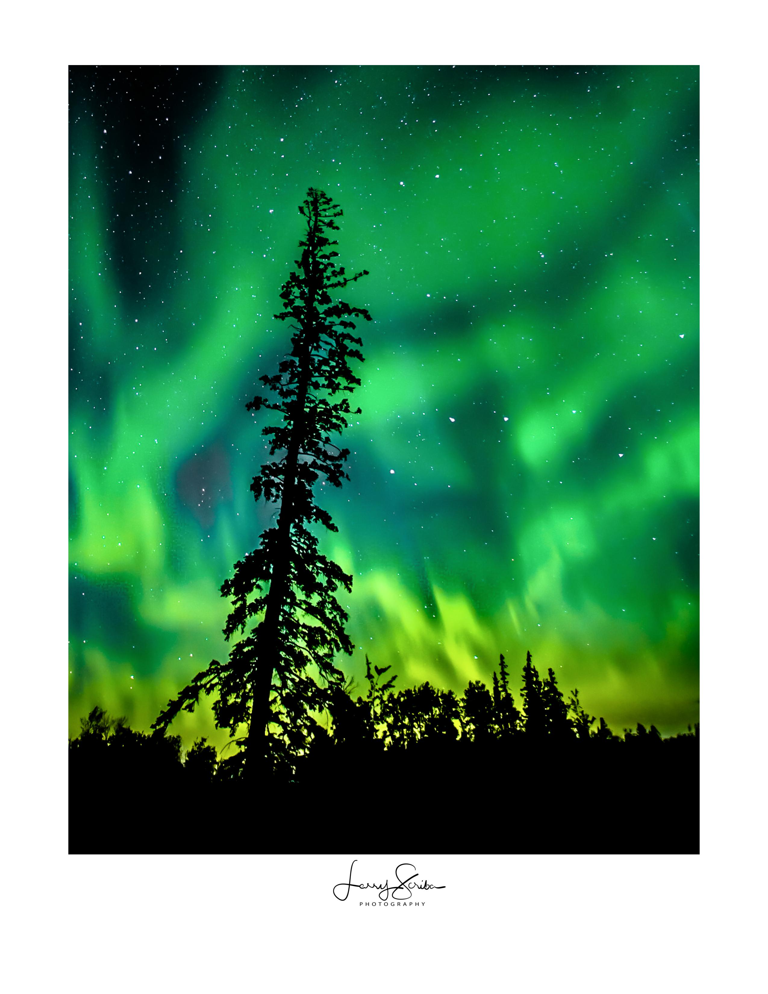 Aurora & Spruce Tree
