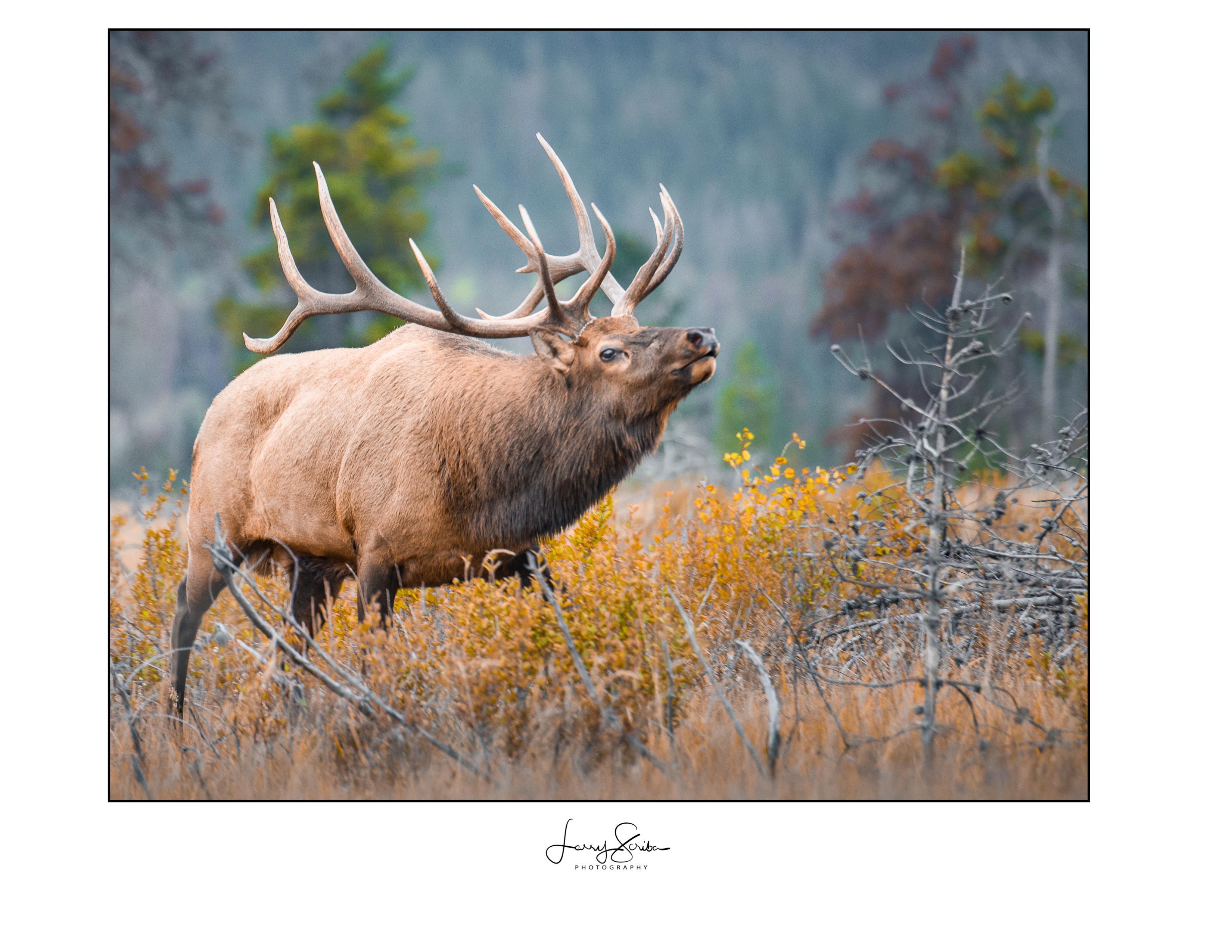 Bull Elk In Rut (Jasper)