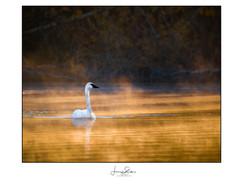 Morning Light Trumpeter Swan