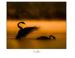 Golden Light Swans