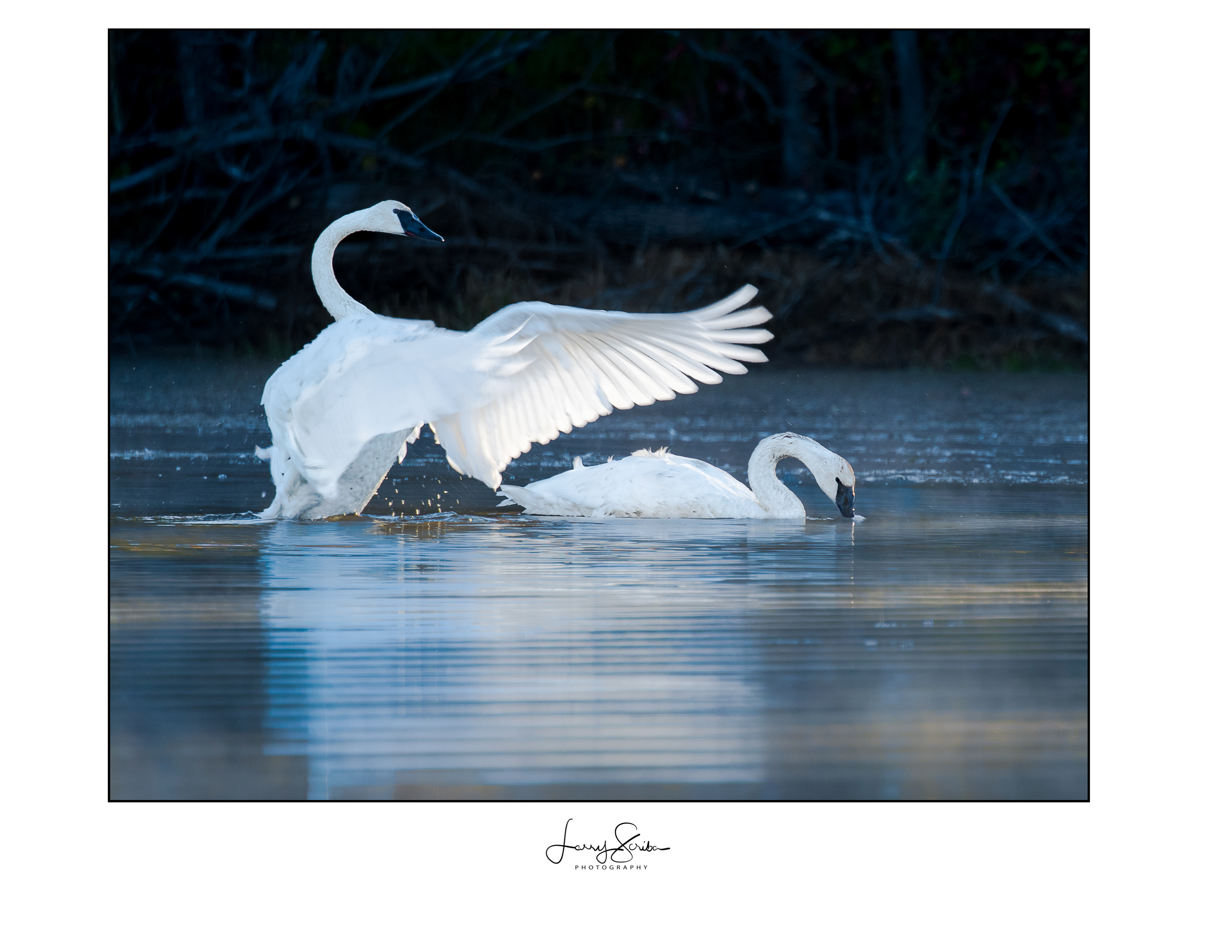 The Protector (Swans)