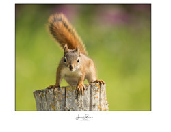 Mr Curious (Squirrel)