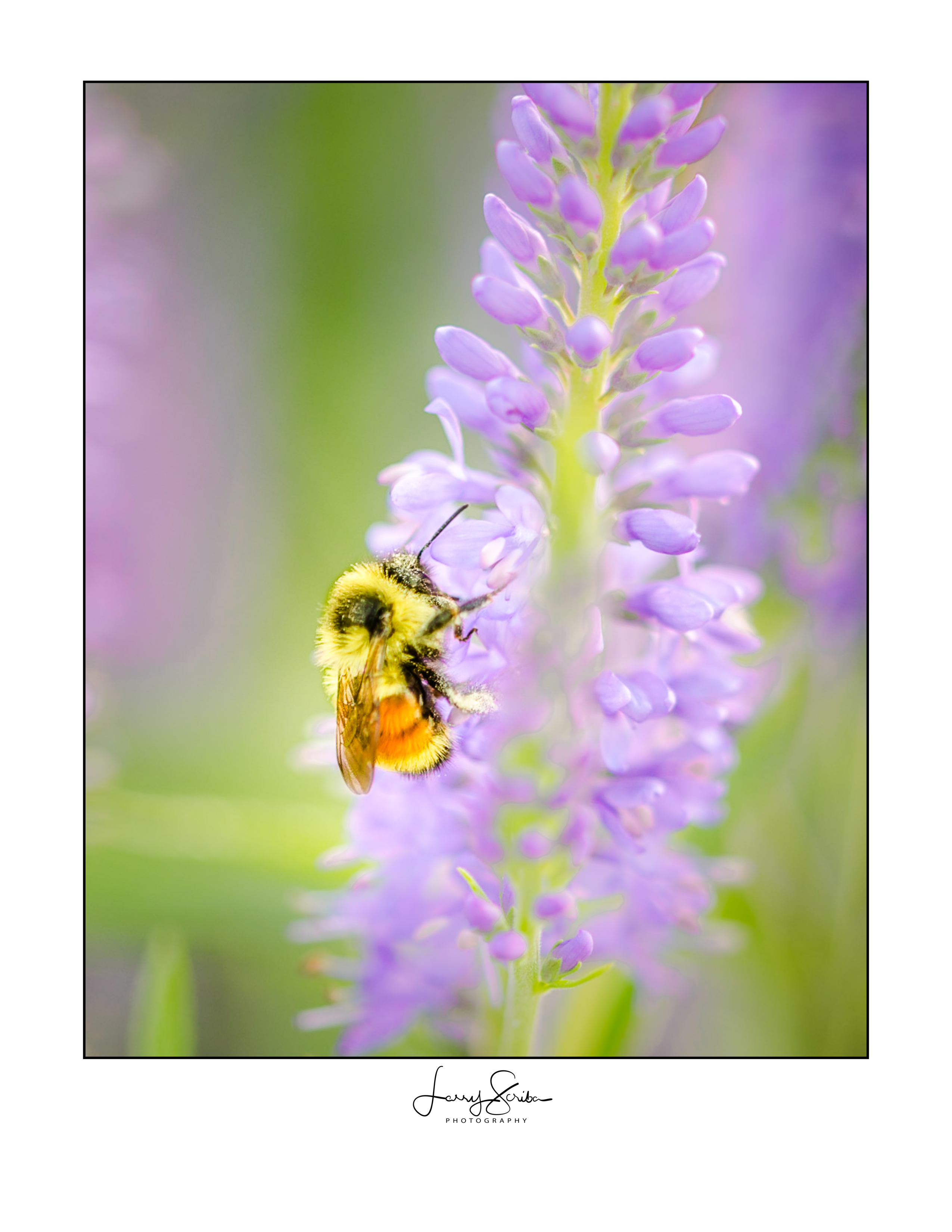 Lupins & Bumble Bee