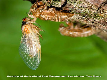 cicada-periodical-cicada-emerging.jpg