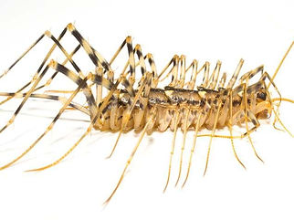 house-centipede-side-no-text.jpg