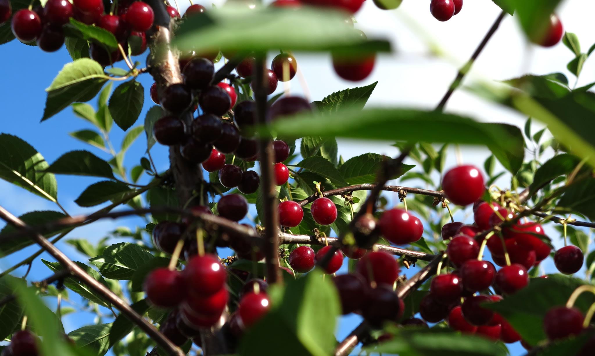 Cherry plantations in Kriftel