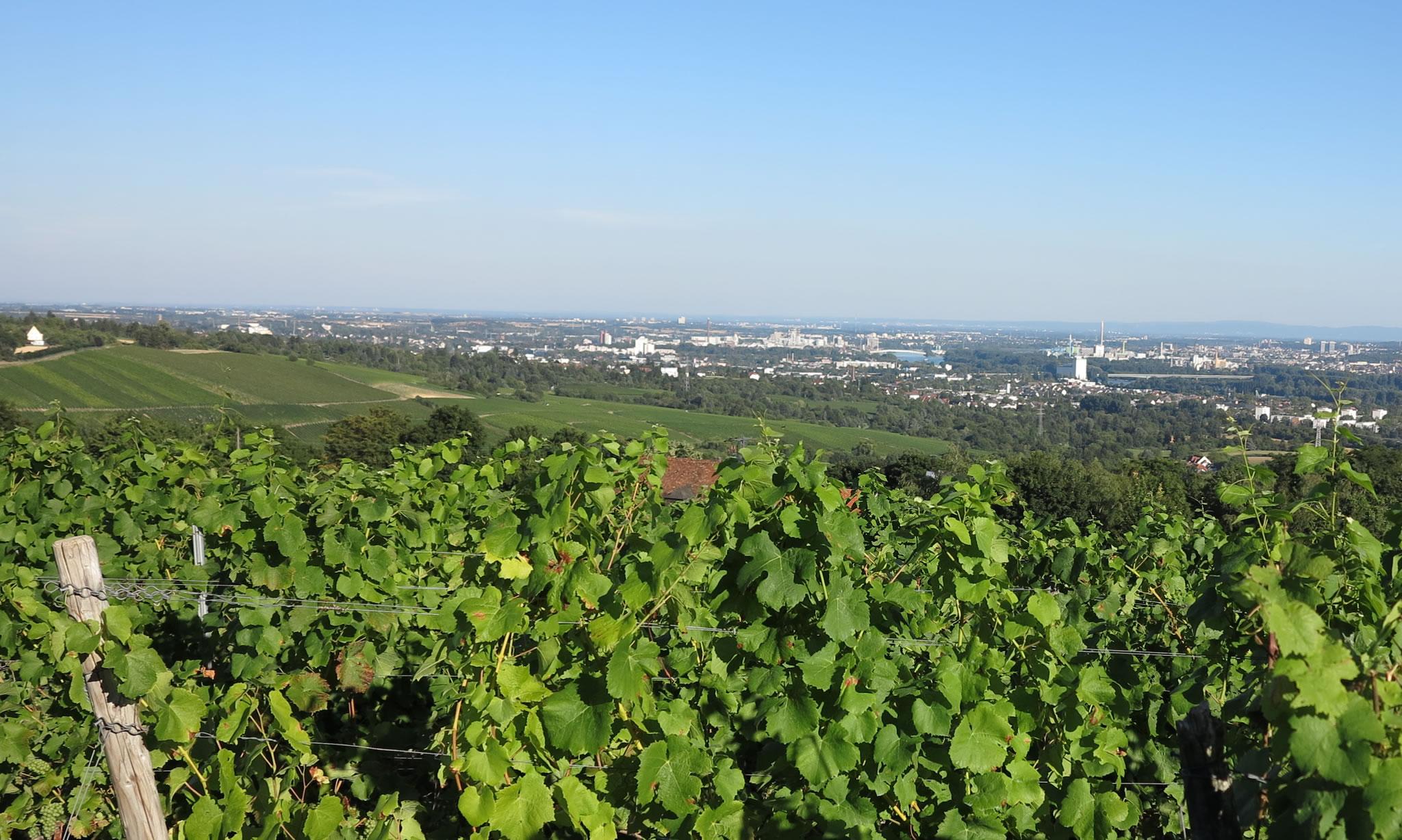 Vineyards near Walluf
