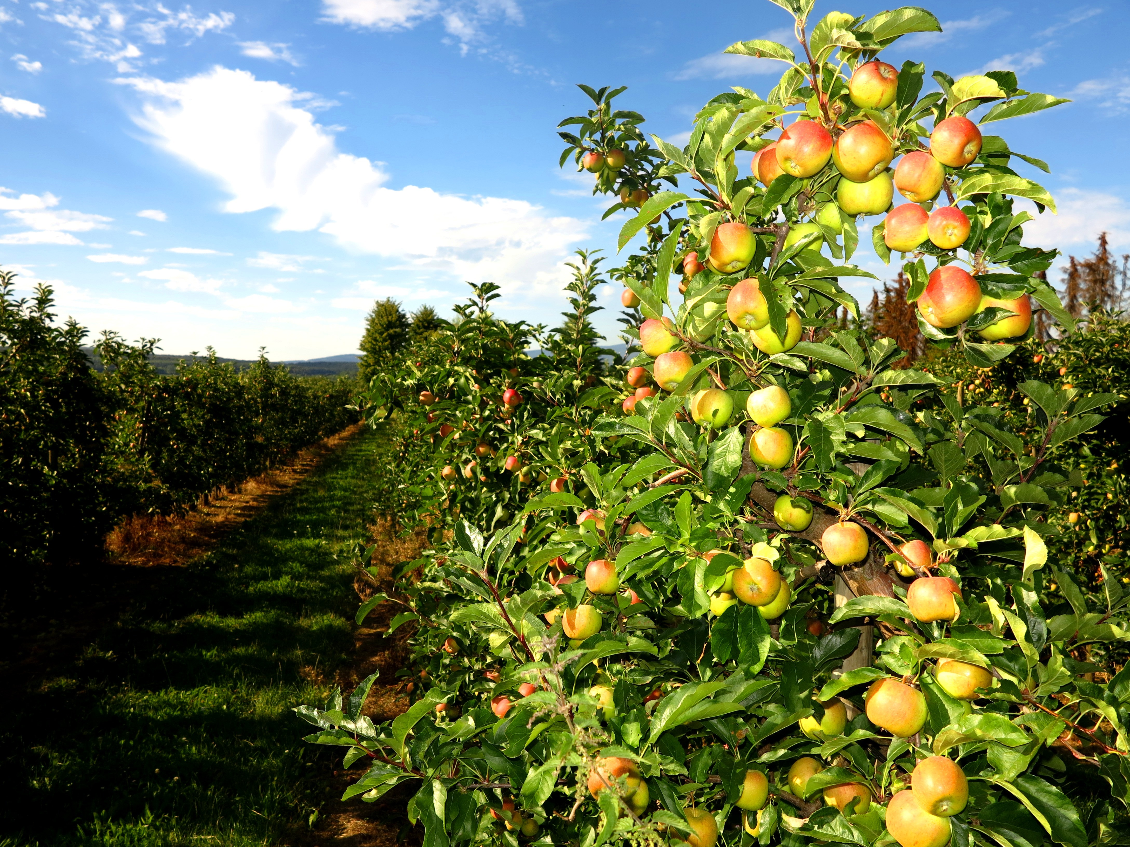 Endless apple orchards in Kriftel
