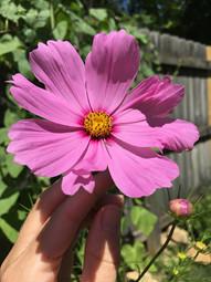 Cosmos flowers Bloomington.jpg