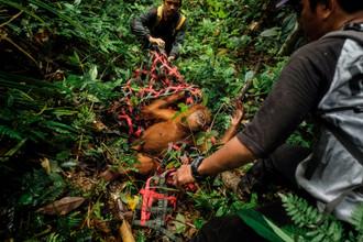 Saving_Orangutans_02.JPG