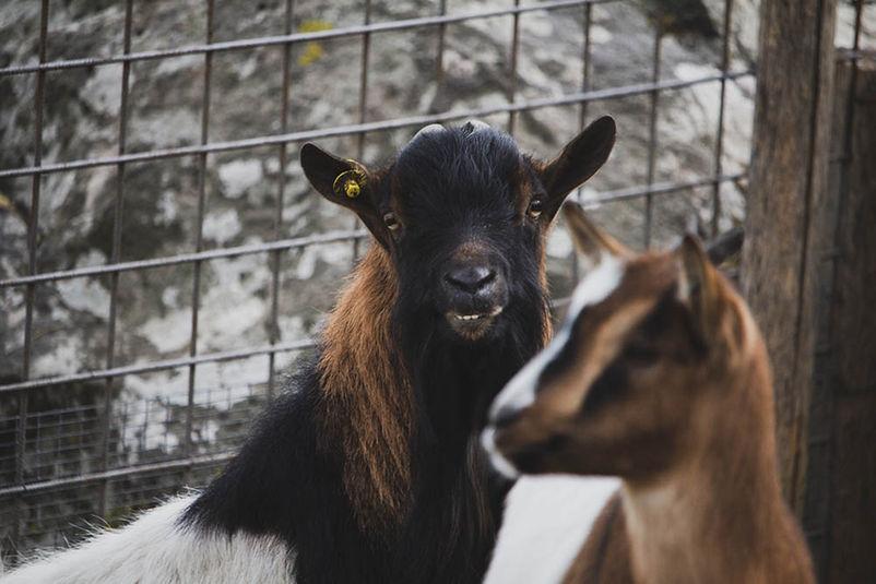 Animal in the Farm