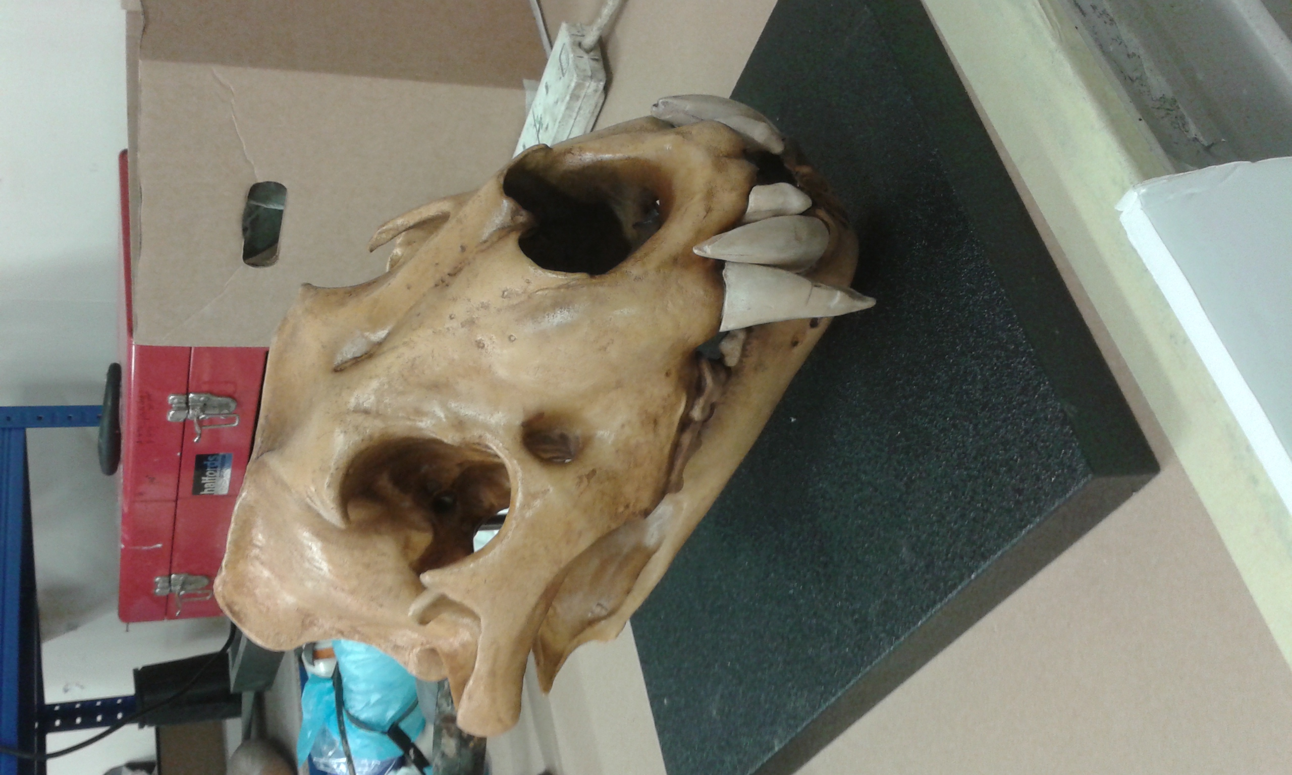 Replica Barbary Lion Skull