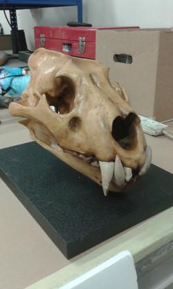 Replica Barbary Lion Skull