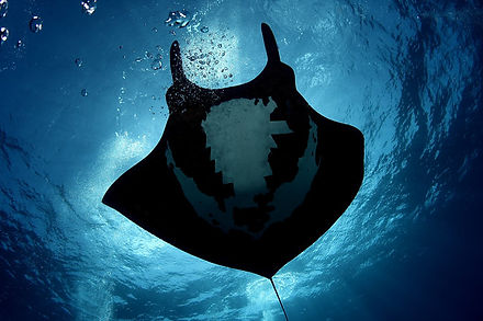 galapagos-calipso-liveaboard-manta-ray-b