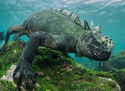marine-oguana-galapagos-islands-calipso-