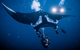 socorro-islands-el-boiler-manta-ray.jpg