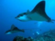 eagle-rays-calipso-liveaboard-galapagos-