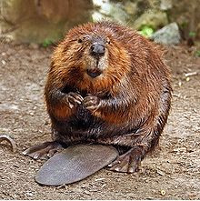 Beaver Believer