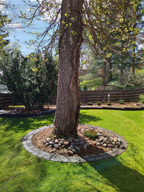 Männyn juurella on istutusympyrä..jpg
