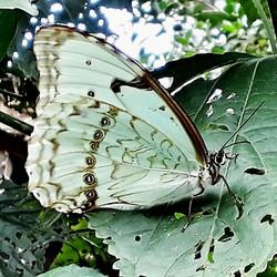 Linda borboleta tentando se camulhar. Fotografada durante a excursão no Recanto da Oma