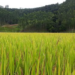 A beautiful tive field._Linda plantação de arroz
