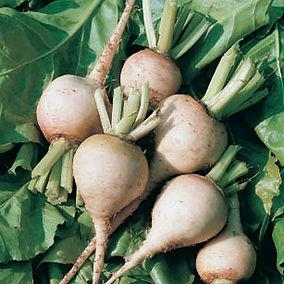 white beet.jpg