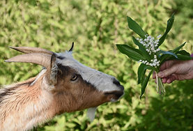 goat-5128153_1920.jpg