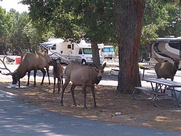 Morning visitors (Grand Canyon campground)