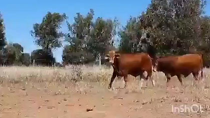 Christmas Creek bulls