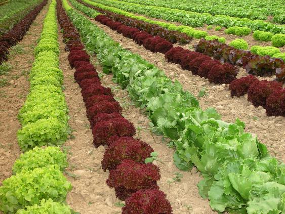 Salatbeete.jpg