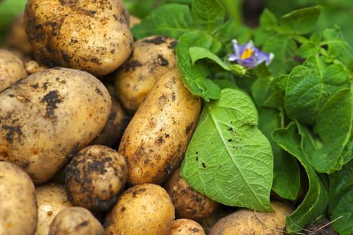 Kartoffeln_05.jpg