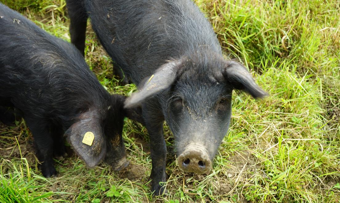 Schwarze- und gescheckte Alpenschweine