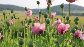 Taliban's Opium Dilemma