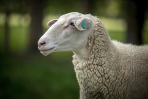 spring-sheep-closeup_edited_edited.png