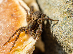 Jumping spider 01