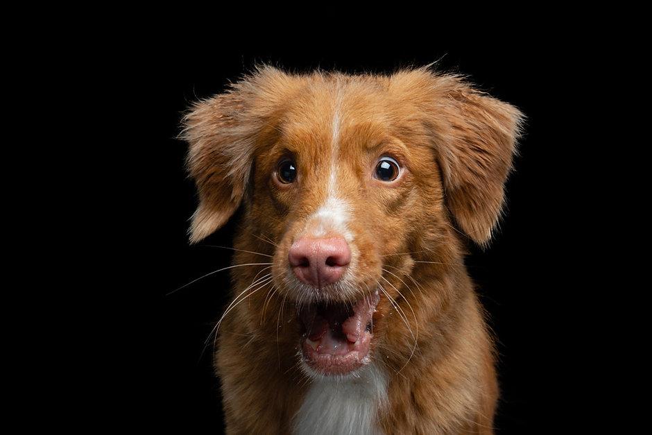 фотосъека собак TFP, фотосъемка животных