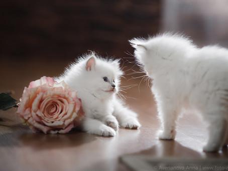 Котята Рег долл - Ragdoll kittens