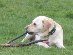 Penny - Liverpool Dog Walking