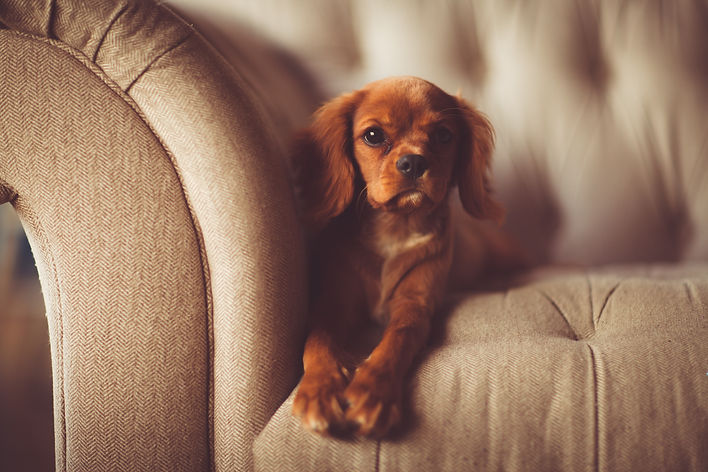 Cavalier King Charles laying on couch