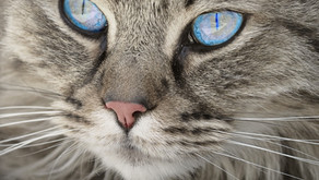 Is your cat be hiding signs of diabetes?