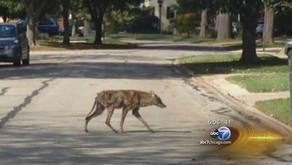 What should you do when you run into a coyote???