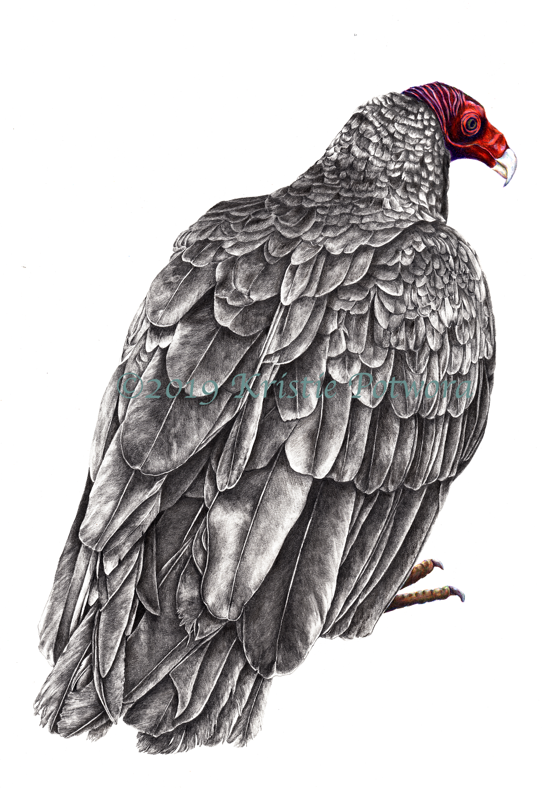 T Vulture Graphite colored high res