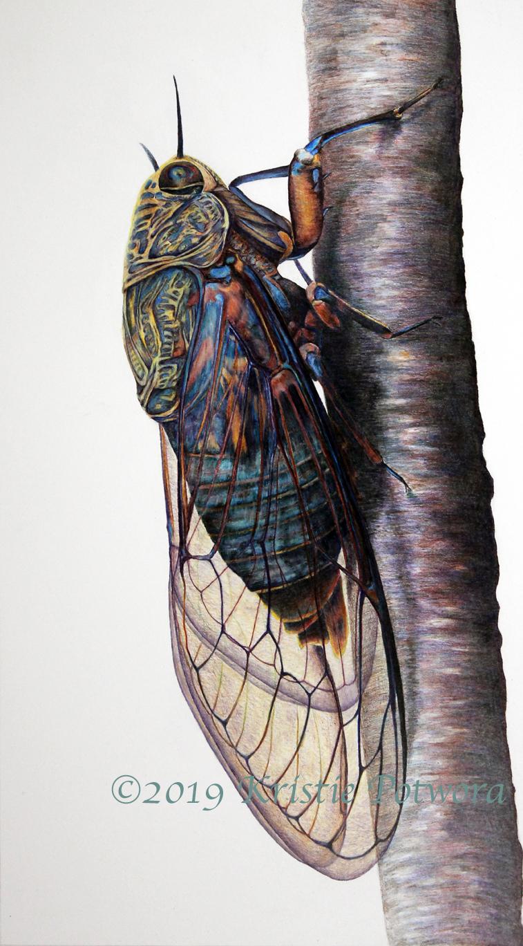 cicada Okanagana rimosa